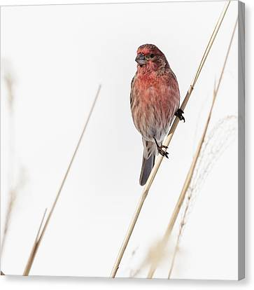 House Finch Male Square Canvas Print