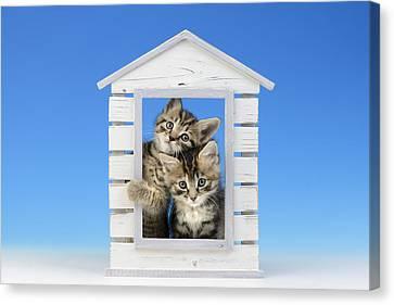 House Kittens Canvas Print by Greg Cuddiford