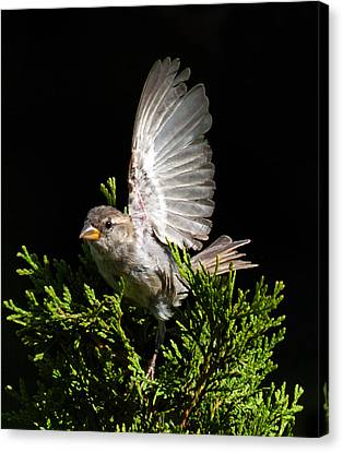 Canvas Print featuring the photograph House Sparrow by David Lester