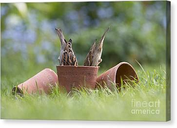 House Sparrows Feeding Canvas Print by Tim Gainey