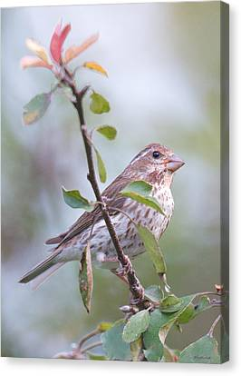 House Sparrow In The Apple Tree Canvas Print