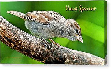 Canvas Print featuring the photograph House Sparrow Juvenile Poster Image by A Gurmankin