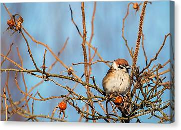 Canvas Print featuring the photograph House Sparrow by Rose-Maries Pictures