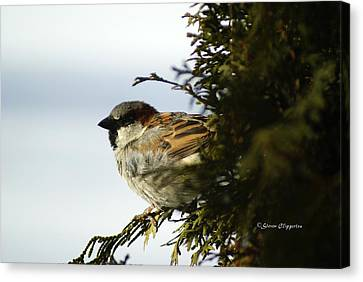 House Sparrow Canvas Print by Steven Clipperton