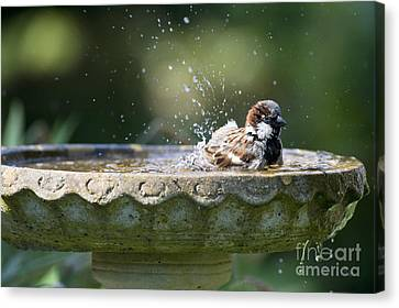 House Sparrow Washing Canvas Print by Tim Gainey