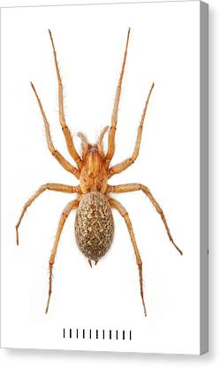 Arachnida Canvas Print - House Spider by Natural History Museum, London