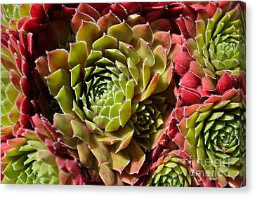 Houseleek Group Canvas Print