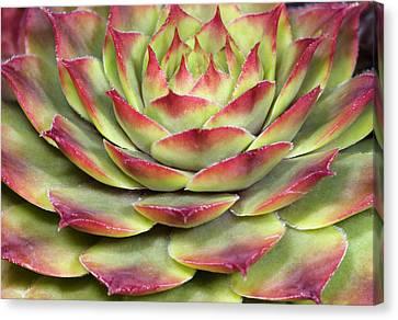 Houseleek Leaves Abstract Canvas Print by Nigel Downer