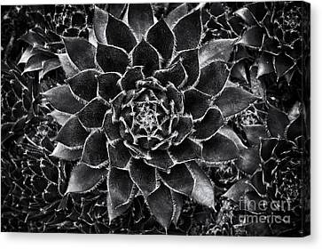 Houseleek Monochrome Canvas Print by Tim Gainey