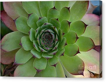 Houseleek Sempervivum Canvas Print