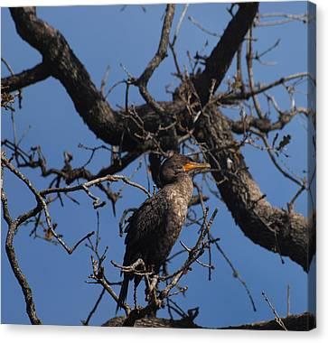Houston Wildlife Double Crested Cormorant  Canvas Print by Joshua House