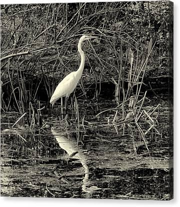 Houston Wildlife Great White Egret Black And White Canvas Print by Joshua House