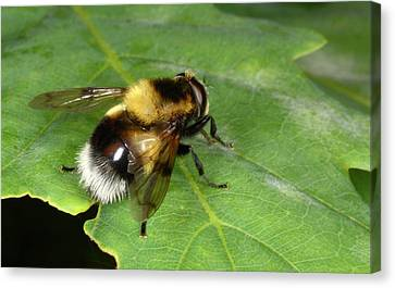 Hover-fly Canvas Print