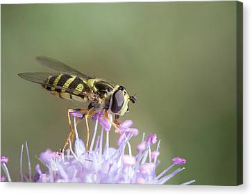 Canvas Print featuring the photograph Hoverefly - Syrphus Vitripennis by Jivko Nakev