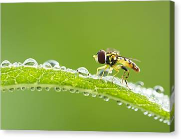 Hoverfly In Dew Canvas Print by Mircea Costina Photography