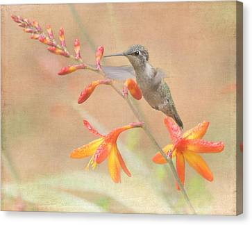 Hovering In The Crocosmia Canvas Print