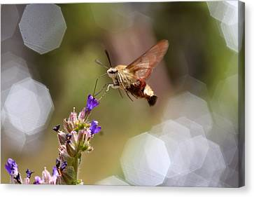 Hovering Pollination Canvas Print