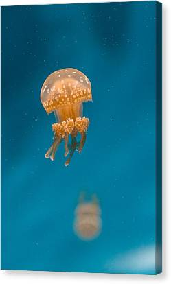 Monteray Bay Canvas Print - Hovering Spotted Jelly 1 by Scott Campbell