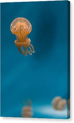 Hovering Spotted Jelly 2 Canvas Print