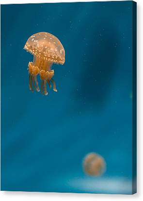 Monteray Bay Canvas Print - Hovering Spotted Jelly 3 by Scott Campbell
