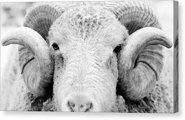Canvas Print featuring the photograph How Ewe Doin by Courtney Webster