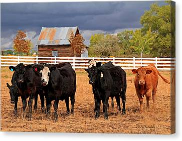 How Now Brown Cow Canvas Print by Donna Kennedy