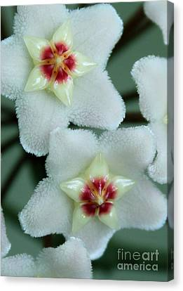 Hoya Canvas Print by Debbie Hart