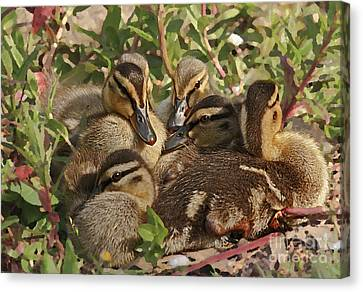 Canvas Print featuring the photograph Huddled Ducklings by Kate Brown