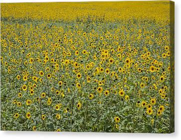 Huge Wild Sunflower Colony Canvas Print