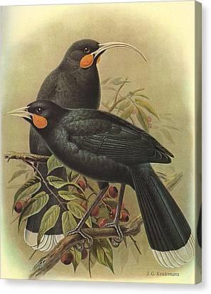 Audubon Canvas Print - Huia by Dreyer Wildlife Print Collections