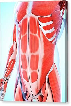 Stomach Canvas Print - Human Abdominal Muscular System by Sebastian Kaulitzki