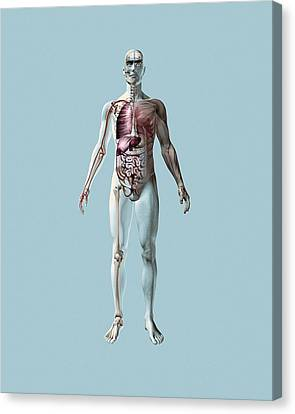 Circulatory System Canvas Print - Human Anatomy by Mikkel Juul Jensen