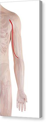 Human Arm Artery Canvas Print by Sciepro