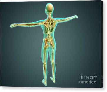 Human Body Showing Skeletal System Canvas Print