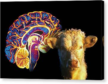 Human Brain And Beef Cow Canvas Print by Gjlp/cnri