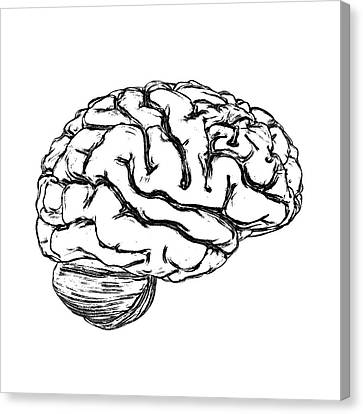Human Brain Canvas Print by Russell Kightley