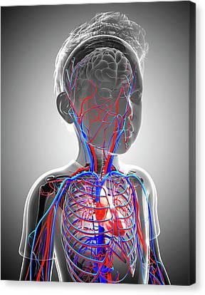Human Cardiovascular System Canvas Print