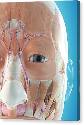 Normal Canvas Print - Human Face Anatomy by Sciepro