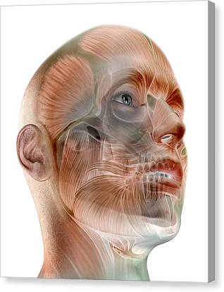 Human Facial Muscles, Artwork Canvas Print by Science Photo Library