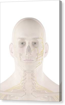 Human Facial Nerves Canvas Print by Sciepro