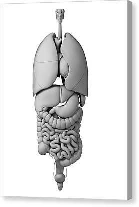 Human Internal Organs Canvas Print by Sebastian Kaulitzki