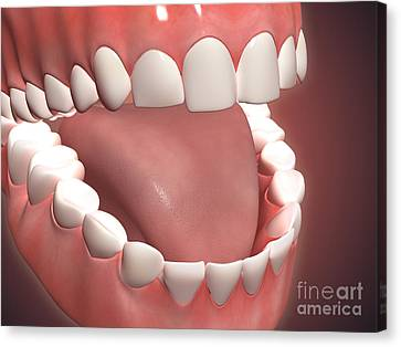 Human Mouth Open, Showing Teeth, Gums Canvas Print by Stocktrek Images