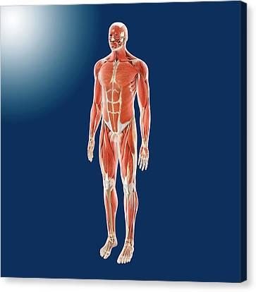 Human Musculature Canvas Print