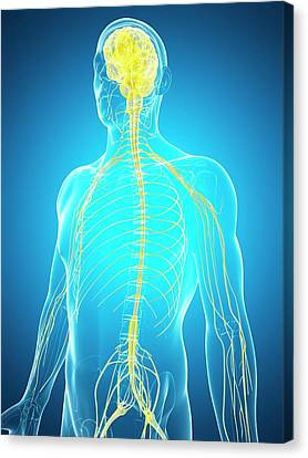 Human Nervous System And Brain Canvas Print by Sebastian Kaulitzki