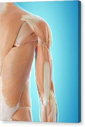 Human Shoulder Anatomy Canvas Print