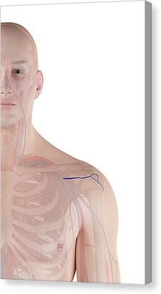 Human Shoulder Artery Canvas Print by Sciepro