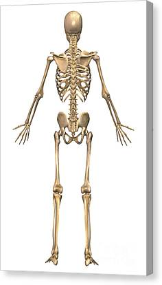 Human Skeletal System, Back View Canvas Print by Stocktrek Images