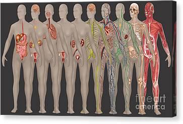 Human Systems In The Female Anatomy Canvas Print by Gwen Shockey
