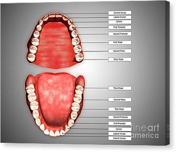 Human Teeth Structure With Labels Canvas Print by Stocktrek Images