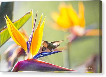 Hummer At Bird Of Paradise Canvas Print by Dorothy Cunningham